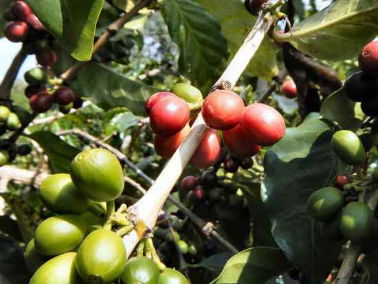 green coffee bean extract supplement