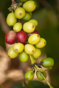 negative side effects of green coffee bean extract