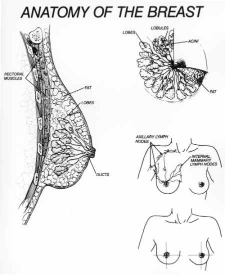anatomy and development of breasts