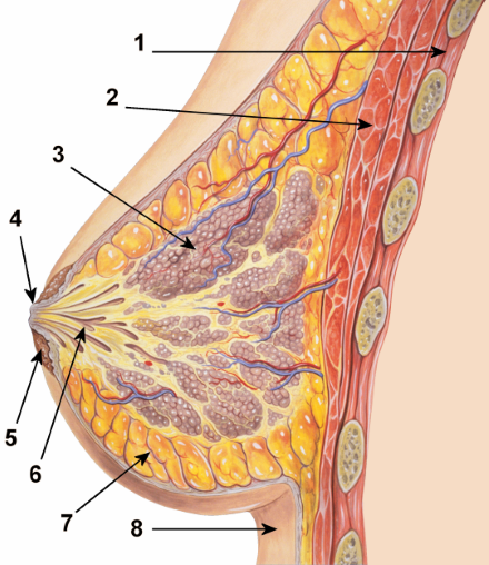 mammary glands in women